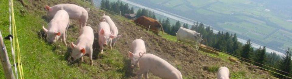 alpschweine.jpg